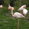 Flamingi ...