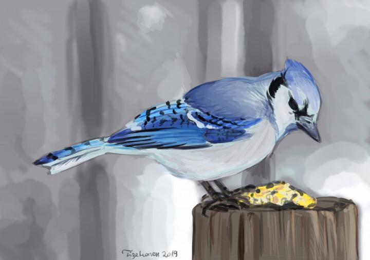 Sójka błękitna