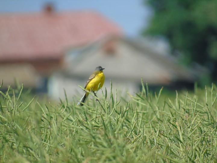 Wiejski ptaszek