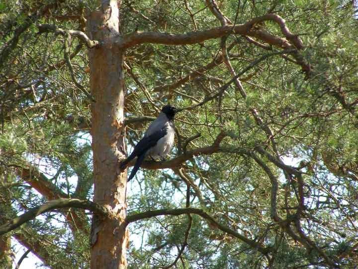 Wrona siwa w lesie :)