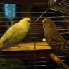 papużki ...