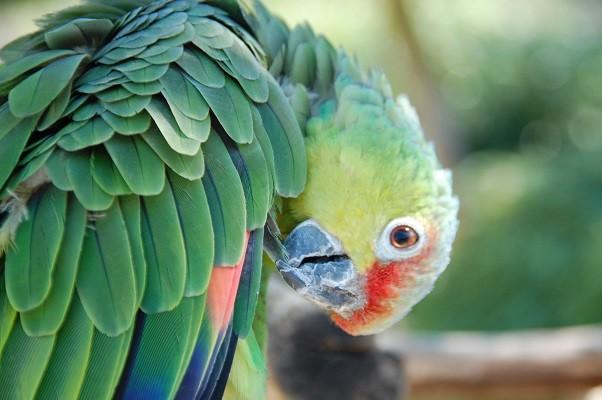 Papuga z parku w Niemczech