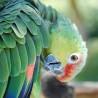Papuga z ...