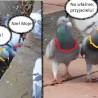 Gołębi ...