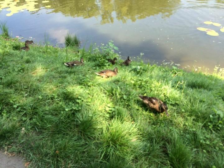 kaczki z wilanowa 3